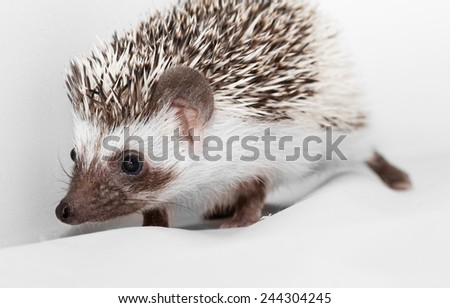 A cute little hedgehog - ( African white- bellied hedgehog ) - stock photo