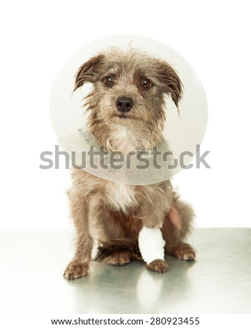 A cute little mixed breed dog with an injured leg wearing a plastic cone white sitting on an emergency veterinary clinic table - stock photo
