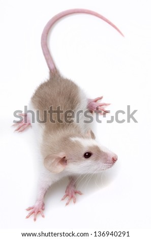 a cute little mouse - white background - stock photo
