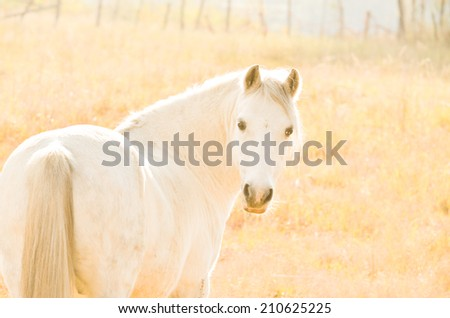 A cute little naught grey pony looking back in the afternoon sunset - stock photo