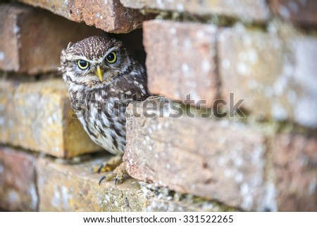 A cute Little Owl looking out from its hole in a wall - stock photo