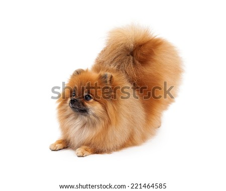 A cute little Pomeranian dog taking a bow in a downward facing dog position while looking off to the side. - stock photo
