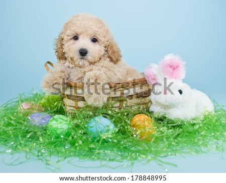 A cute little Poodle puppy sitting in a basket with an Easter bunny and Easter eggs around him. - stock photo
