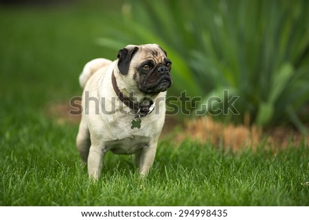 A cute little pug enjoying a warm summer day in the green grass.