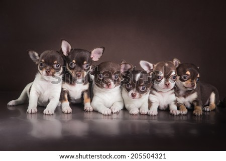 a cute little puppy. Chihuahua puppy - stock photo