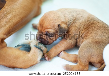A cute little puppy is sniffing on the big paw of its mother. The whelp is two weeks of age.