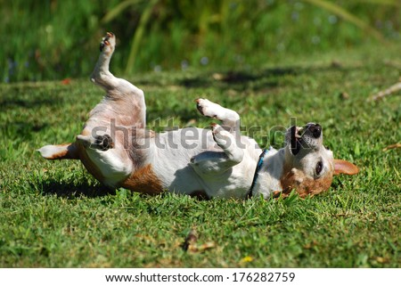 A cute little purebred Parson Jack Russell Terrier dog scratching his back by rolling over backwards and forwards on the lawn. - stock photo