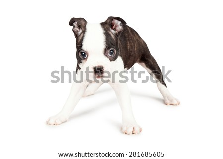 A cute little seven week old Boston Terrier puppy standing with his legs spread apart. Place your product between them. - stock photo