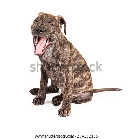 A cute little sleepy Pit Bull mixed breed puppy dog sitting and opening mouth wide to yawn - stock photo