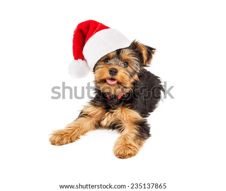 A cute little teacup Yorkshire Terrier dog laying down with a happy expression while wearing a Christmas Santa hat - stock photo