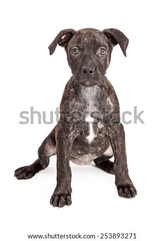 A cute little ten week old Pit Bull mixed breed puppy with a brindle coat sitting down and looking at the camera - stock photo