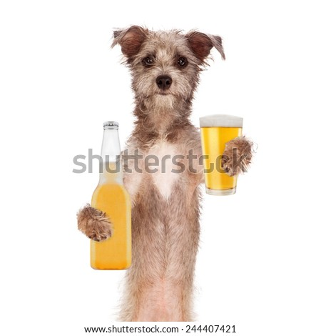 A cute little terrier breed dog holding a golden light beer bottle and glass - stock photo