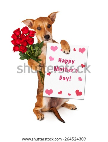 A cute little yellow crossbreed puppy sitting up and holding a dozen red roses and a Happy Mother's Day sign with hearts - stock photo