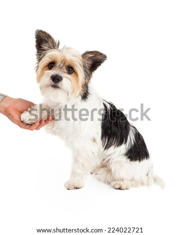 A cute little Yorkshire Terrier and Shih Tzu mixed breed dog