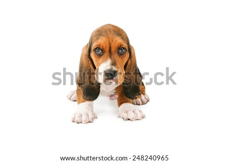 A cute little young Basset Hound breed puppy dog sitting and looking forward - stock photo