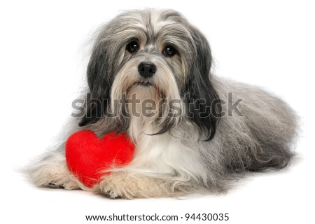 A cute lover valentine havanese boy dog with a red heart isolated on white background - stock photo