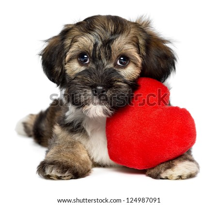 A cute lover valentine havanese puppy dog with a red heart, isolated on white background - stock photo