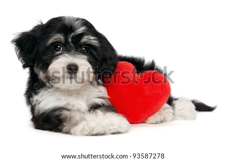 A cute lover valentine havanese puppy dog with a red heart isolated on white background - stock photo