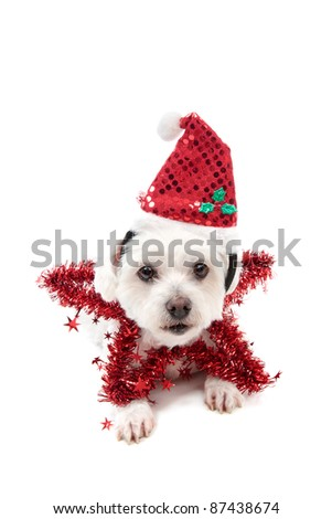 A cute maltese terrier lying down with a red tinsel Christmas star and santa hat. - stock photo