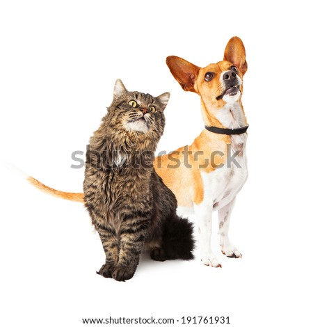A cute medium size mixed breed dog and a beautiful long hair cat sitting together and looking up in the same direction off to the side