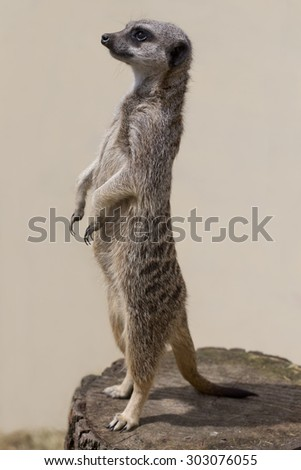 A cute meercat standing up against a plain background - stock photo