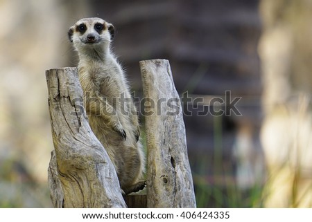 A cute meerkat standing upright on guard. This animal takes a lookout position while his family hunted for food. He is the guard and signals others should there be any danger. - stock photo