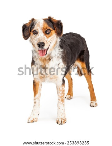 A cute mixed breed Australian Shepherd dog standing up with happy expression while looking at the camera - stock photo