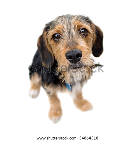 A cute mixed breed puppy isolated over white. The dog is half beagle and half yorkshire terrier. Shallow depth of field. - stock photo