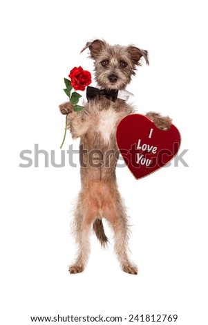 A cute mixed terrier breed dog wearing a black bow tie while carrying a single red rose and a heart shaped velvet box of Valentine's Day chocolates with the words I Love You on it - stock photo