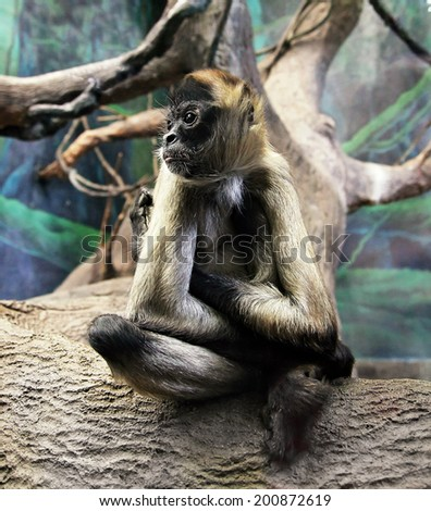 a cute monkey in a glass environment in a zoo - stock photo