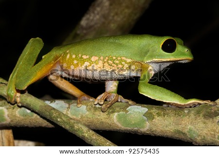 A cute Monkey Treefrog (Phyllomedusa camba) walks along a branch (very monkey-like) in the Peruvian Amazon Isolated with lots of space for text - stock photo