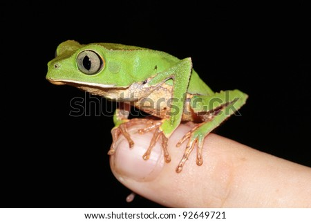 A cute Monkey Treefrog (Phyllomedusa vaillanti) rests on my finger in the Peruvian Amazon