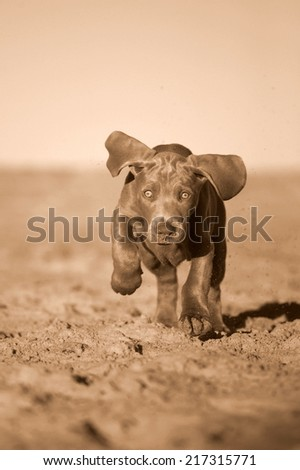 A cute new born pure bred weimaraner puppy dog in running motion with ears flapping in this side on photo taken on the beach on a beautiful summer day in the Eastern Cape, South AFrica