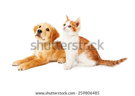 A cute orange and white six kitten and a Golden Retriever puppy sitting together and looking up and to the side - stock photo