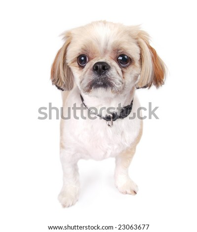 A cute Peekapoo puppy sitting. - stock photo