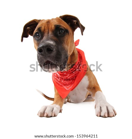 a cute pit bull boxer mix  - stock photo