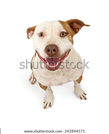 A cute pit bull terrier with a friendly smile sitting down and looking up - stock photo