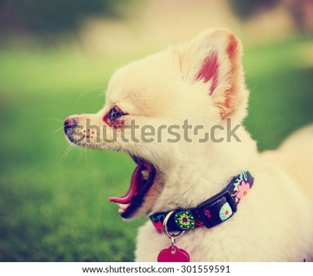 a cute pomeranian puppy dog that has been groomed barking or yawning  in a park setting with a pretty collar and tag on toned with a retro vintage instagram filter effect app or action - stock photo