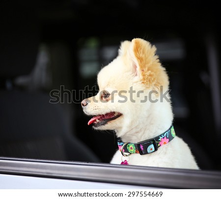 a cute pomeranian puppy dog that has been groomed sitting in a car looking out the window waiting for her owner with a pretty collar and tag on - stock photo
