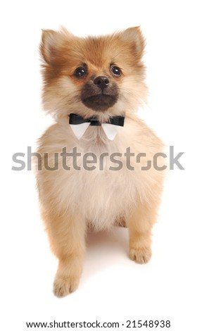 A cute Pomeranian puppy with a bowtie. - stock photo