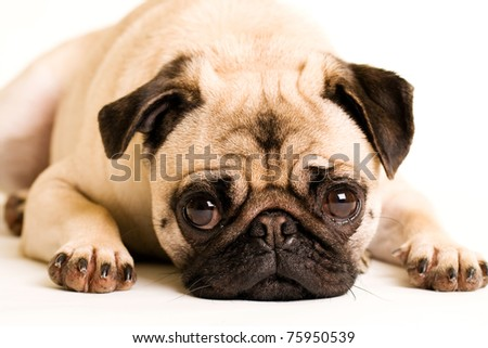 a cute Pug dog with a sad, flat face - stock photo