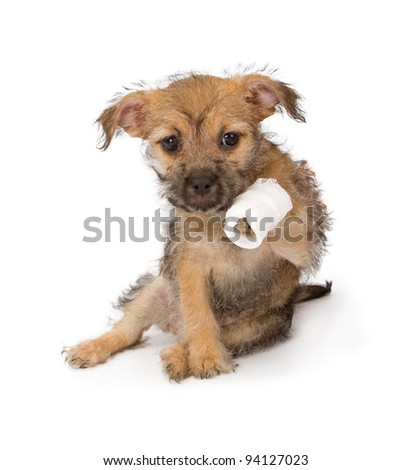 A cute puppy holding up her injured paw that is bandaged. - stock photo