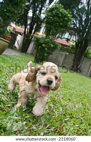 a cute puppy running - stock photo