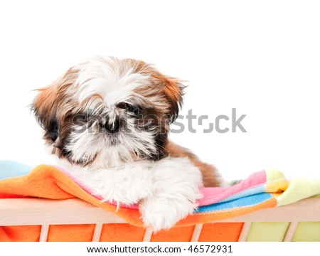 A cute puppy shih-tzu shot on white background - stock photo