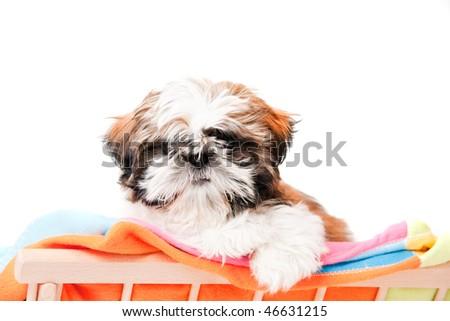 A cute puppy shih-tzu shot on white background - stock photo