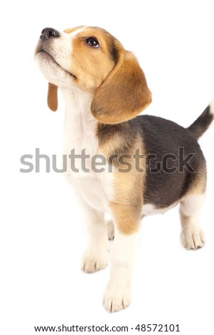 A cute purebred beagle looking at something isolated over white - stock photo