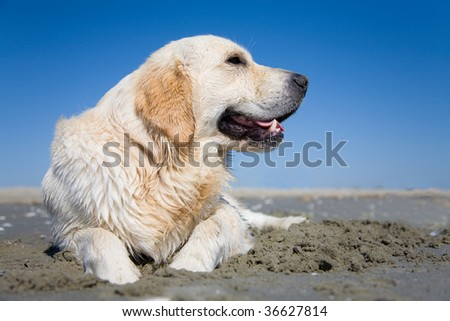 A cute purebreed golden retriever resting on a sandy beach in a beautiful summer day with clear skies. The dog is sitting near a pile of freshly dug sand