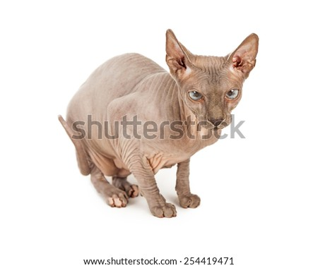 A cute rare breed hairless Sphynx cat sitting on a white background - stock photo