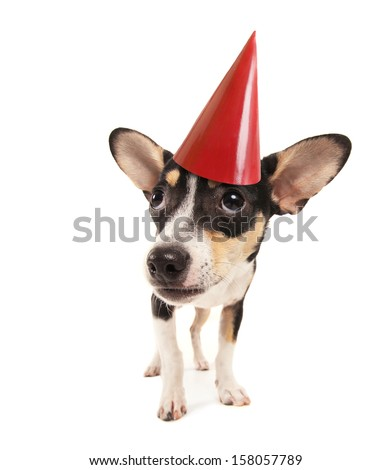 a cute rat terrier chihuahua mix with a red party hat on - stock photo
