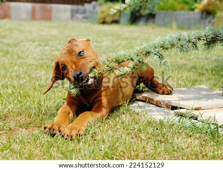 A cute Rhodesian Ridgeback puppy is playing in the backyard in summer. Image taken outside on a sunny day.